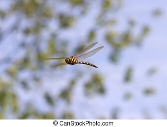 Brown Hawker Dragonfly - Brown Hawker Aeshna grandis...