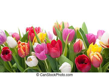 primavera, tulips,