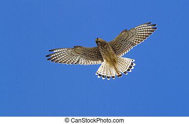 Kestrel in flight with a blue sky