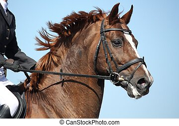 Brown sport horse portrait during show - Brown sport horse...