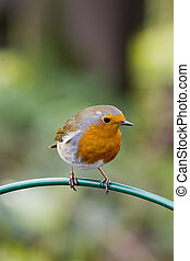 Robin  ( Erithacus rubecula ) perched on a feeder