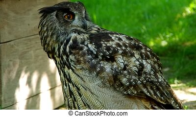 Eagle owl - Eagle Owl is looking at the camera