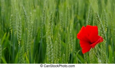 Corn poppy in wheat field in spring in the wind