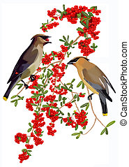 Cedar Waxwings and Pyracantha 2 - Cedar Waxwings Bombycilla...