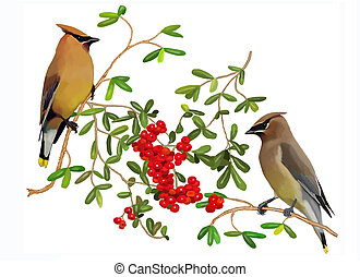 Cedar Waxwings and Pyracantha 1 - Cedar Waxwings Bombycilla...