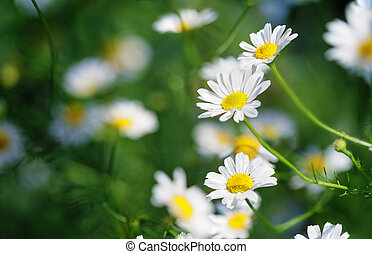 Anthemis arvensis known as field chamomile. Abstract...