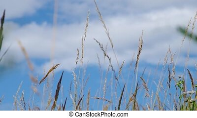 Grass and blue sky in the wind