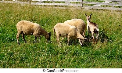 Sheep and goat grazing
