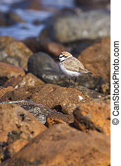 Kentish Plover (Charadrius alexandrinus) on rocks by the sea...