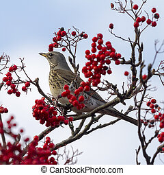 Fieldfare Turdus pilaris perched in a tree with red berrys...