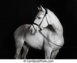 Holsteiner horse white against a black background - White...