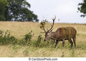 Red deer ( Cervus elaphus) in the wild