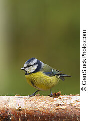 Bluetit (Parus caeruleus)  perched on a log