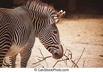 Portrait of a young zebra in zoo
