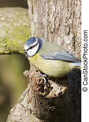 Blue Tit  (Parus caeruleus)  perched on a tree