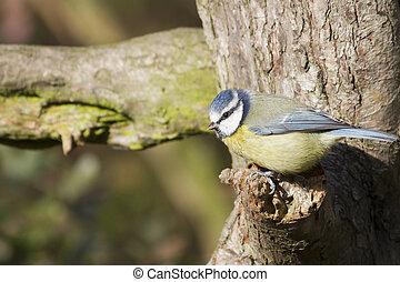 Blue Tit Parus caeruleus perched on a tree