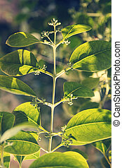 Pterocarpus santalinus, Red Sandalwood - Pterocarpus...