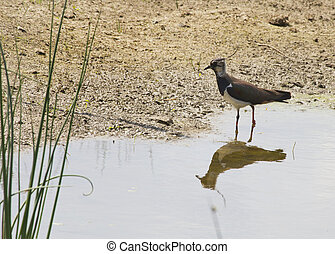 Lapwing standing at the edge of the pool