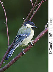 Blue Tit Parus caeruleus closeup perched on a branch
