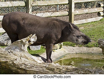 Tapir from south Africa found in Brazil