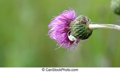 White spider on thistle - White spider on blooming thistle
