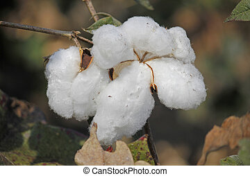 Cotton Field, Boll ready for harvest - Cotton is a soft,...