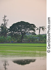 Reflection on Rice fields at sunset time in Nonthaburi...