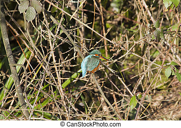 Kingfisher Alcedo atthis perched on a branch