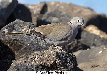 Collard Dove (Streptopelia decaocta) from the canary islands