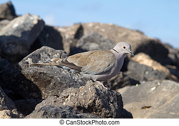 Collard Dove Streptopelia decaocta from the canary islands