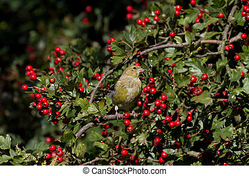 Greenfinch Carduelis chloris perched in a hawthorn tree