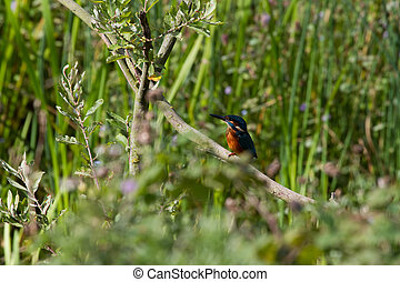 Kingfisher (Alcedo atthis) Perched on a branch looking for...