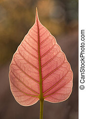 A leaf of the pipal tree