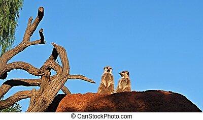 Meerkats, Suricata