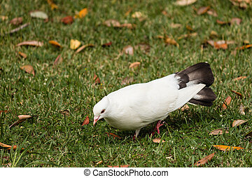 pecking white dove