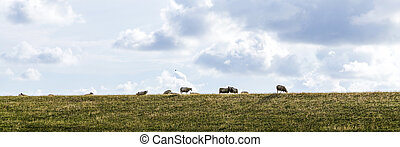 sheeps grazing at the dyke in the Netherlands