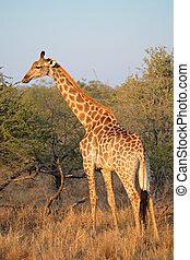 Giraffe in natural habitat - A giraffe (Giraffa...
