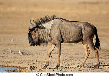 Blue wildebeest at waterhole - Blue wildebeest (Connochaetes...