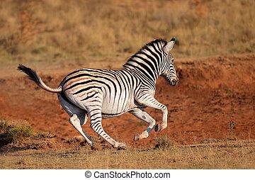 Running plains zebra - A running plains (Burchells) zebra...