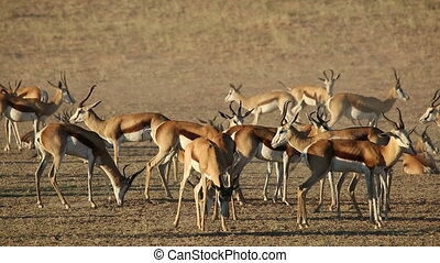 Springbok antelopes - Herd of springbok antelopes...