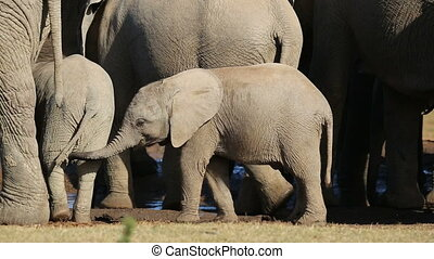 African elephant calves Loxodonta africana with their...