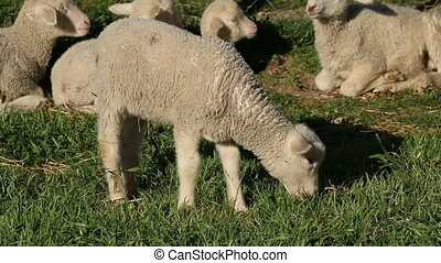Lamb on pasture - A small merino lamb grazing on lush green...
