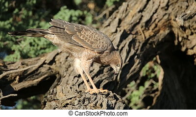 Pale Chanting goshawk feeding - Immature Pale Chanting...