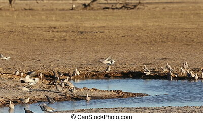 Cape turtle doves (Streptopelia capicola) at a waterhole,...