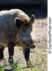 wild boar grazing on pasture on a sunny day