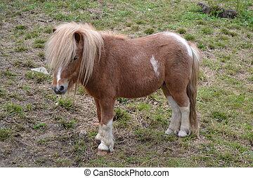 Shetland pony - Resting Shetland pony
