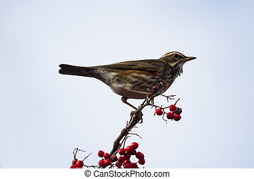 Redwing (Turdus iliacus) perched on a branch with red berrys...
