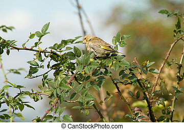 Greenfinch (Carduelis chloris) perched in a hedge