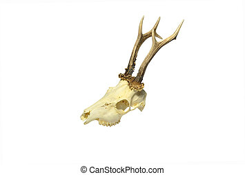 Young deer skull - Skull of young deer with horns isolated...