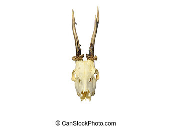 Skull of young deer with horns